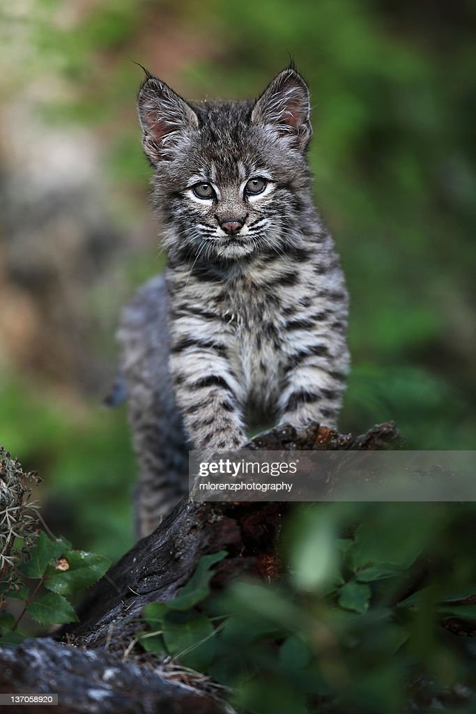 Curious Bobcat Kitten : Stock Photo