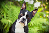 A Boston Terrier stares intently at the camera, ears perked up.