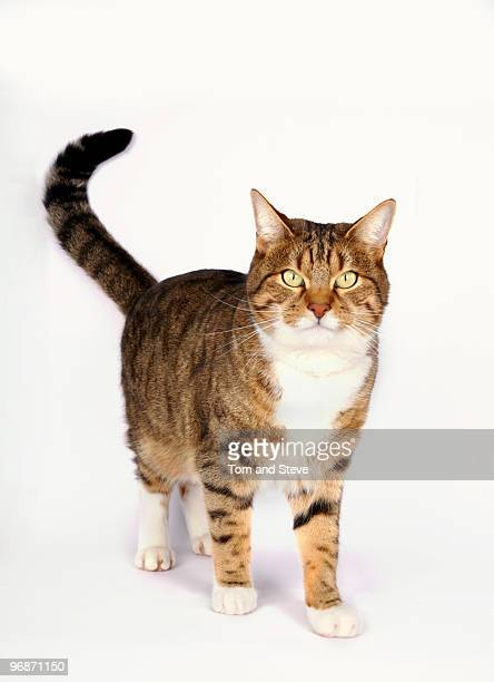 Curious Cat looking at camera on white background