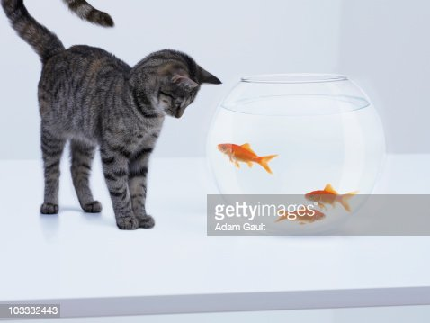 Curious cat watching goldfish in fishbowl : Stock Photo