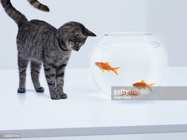 Curious cat watching goldfish in fishbowl