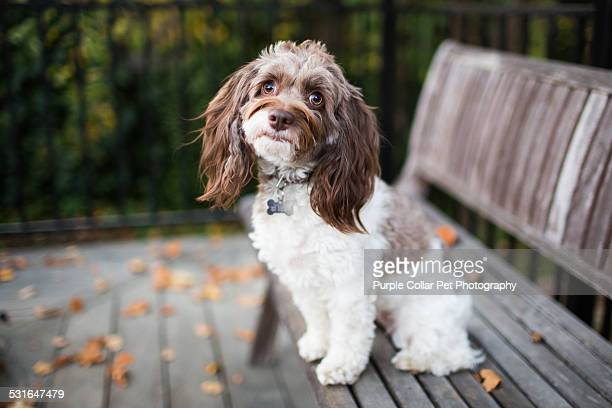 Curious Cockapoo Dog on Bench Outdoors
