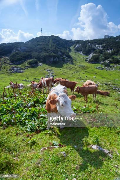Neugierig Kuh-Österreich