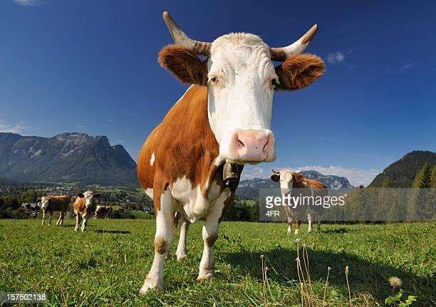 Neugierig Kuh vor den Toren der Alpen Panorama (XXXL