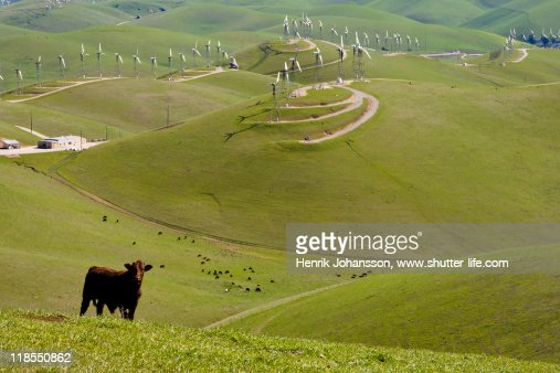 Curious cow on hill with wind mills : Stock Photo