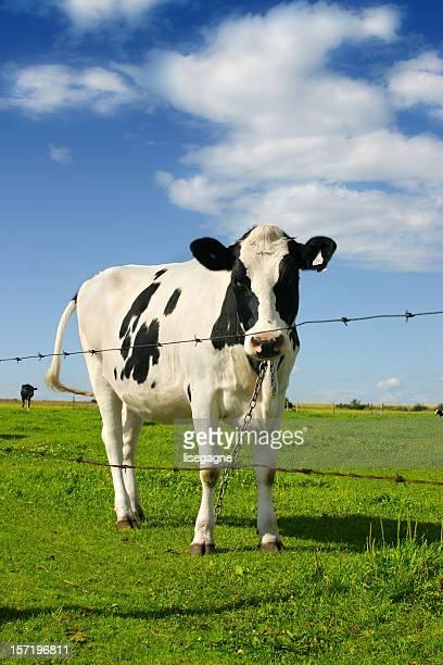 Curieux de vache