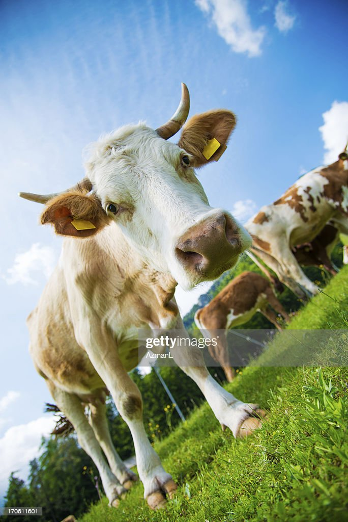 Curious cow : Stock Photo