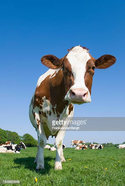 Curious cow standing in a meadow