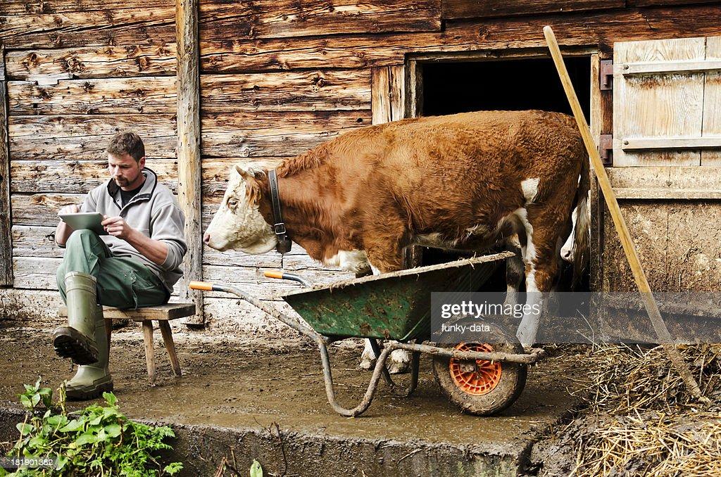 Curious cow watching farmer using digital tablet
