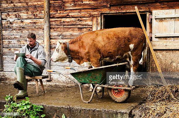 Curious cow watching farmer using digital tablet