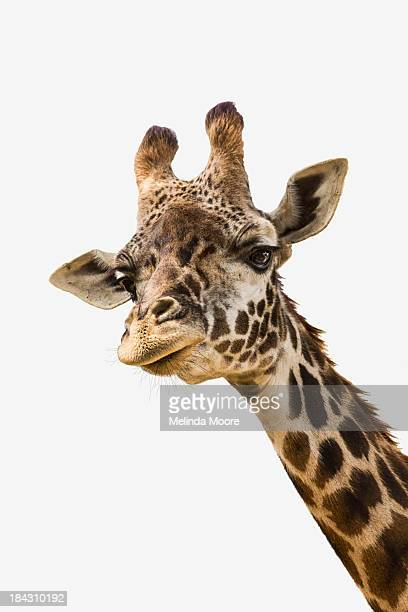 Curious Giraffe on White