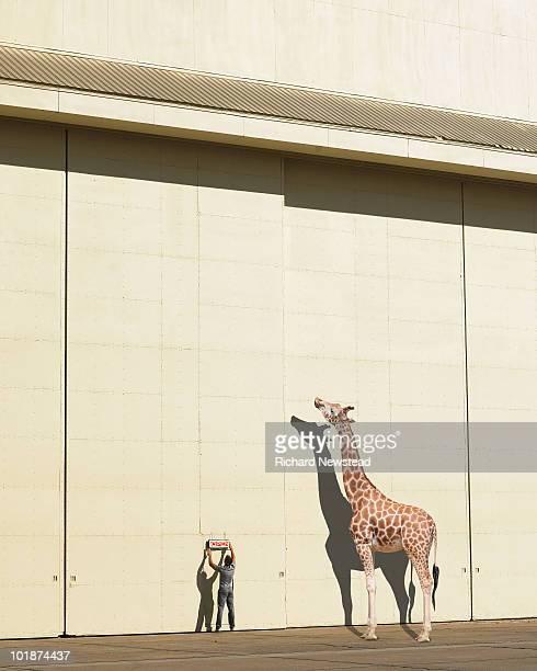Girafa Curioso