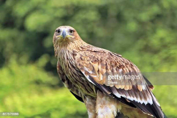 Curious Golden Eagle Or Imperial Eagle Looking At Camera