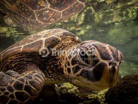 Curious Hawaiian Sea Turtle Looking at You : Stock Photo