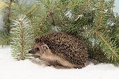 curious hedgehog, Erinaceus europaeus, in the snow hidden under fir branches