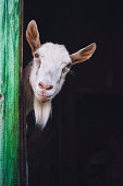 curious hornless goat looking into the camera