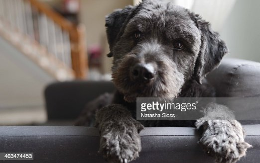 Curious labradoodle puppy