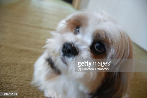 Curious Lhasa Apso looking straight into our eyes. : Stock Photo