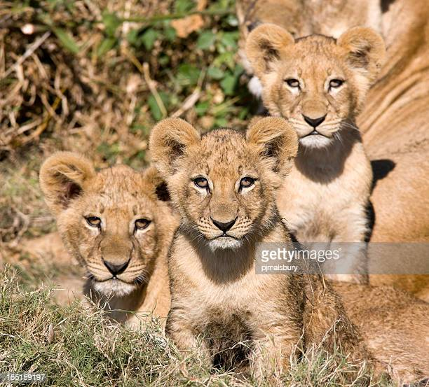 Curious Lion Cubs