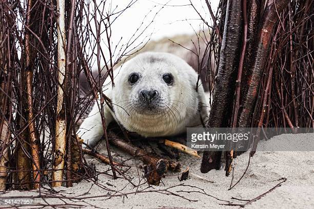 Curious little grey seal