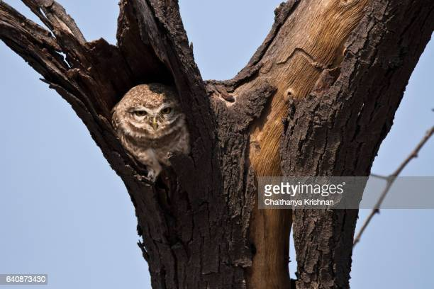 Curious look of Spotted Owl at Bharatpur, Rajastan