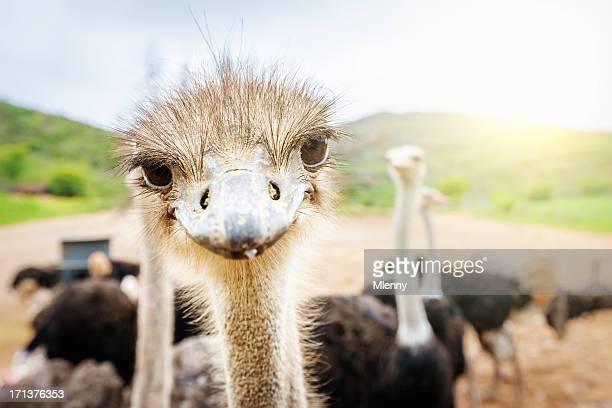 Neugierig Strauß Südafrika