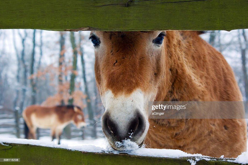 Curious Przewalski's horse