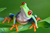 Curious Red-eyed Tree frog