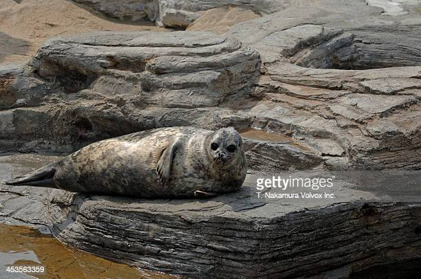 Curious Ringed Seal, Japan