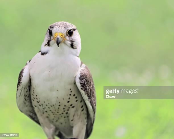 Curious Saker Falcon Against Soft Pastel Background
