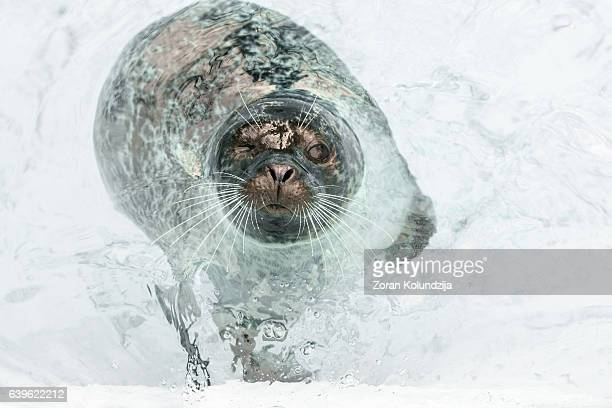 Curious seal floating in shallow water around iceberg