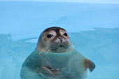 Curious seal looking straith, floating in clear, turquoise sea water