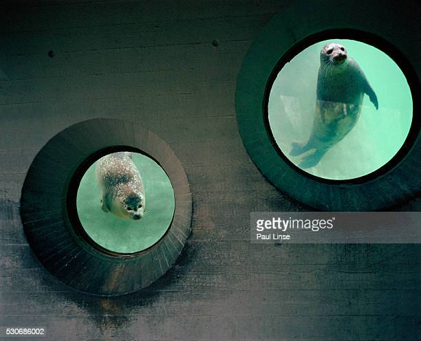 Curious Seals Looking Through Windows