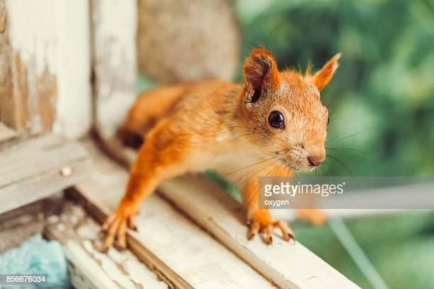 Curious Squirrel sitting on a wooden frame of window