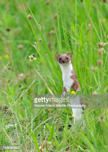 Curious weasel
