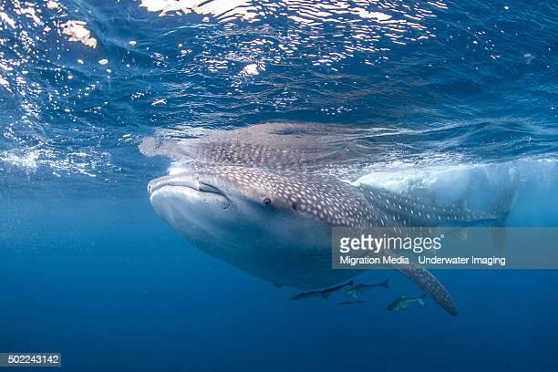 Curious Whale Shark Close-Up