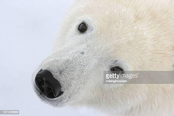 Curious wild polar bear face, Manitoba