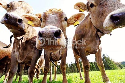 好奇心旺盛の若い茶色牛牧草地。3 好奇心が強い若い乳牛 : ストックフォト