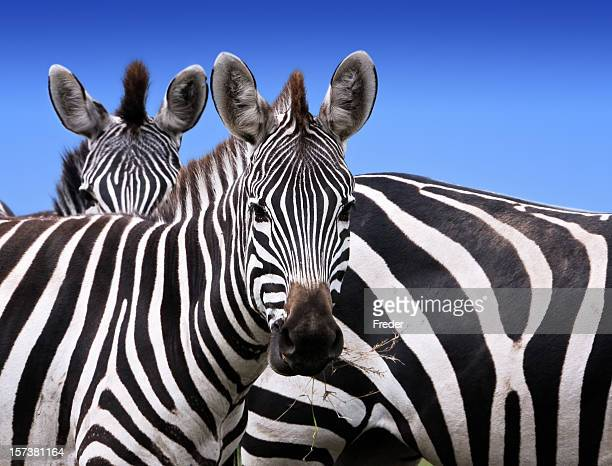 Curious zebras eating grass and looking ahead