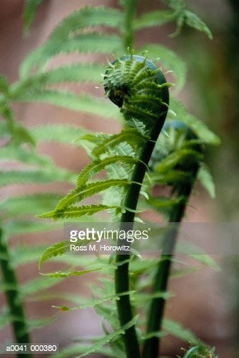 Curled Fern : Stock Photo