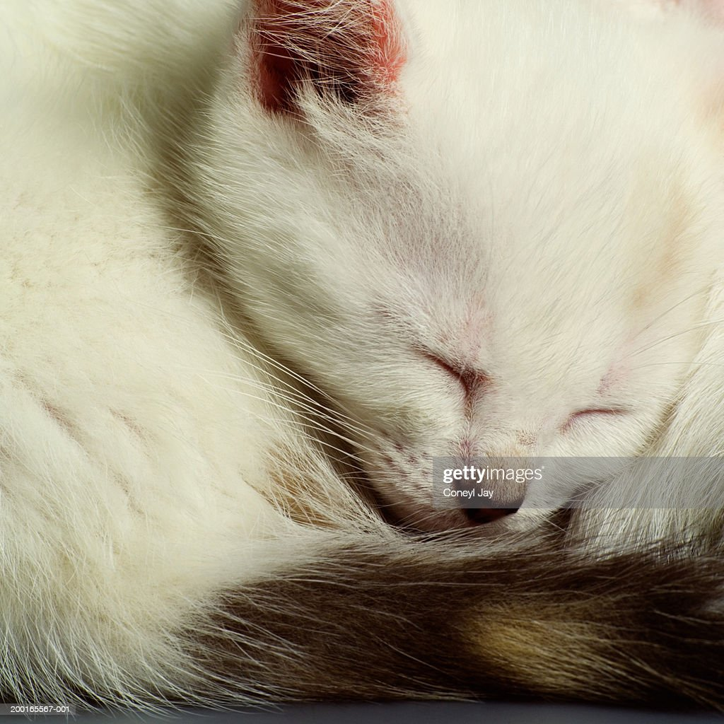 Curled up sleeping kitten, close-up : Stock Photo