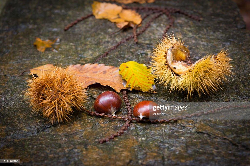 Curly Chestnut Closeup : Foto de stock