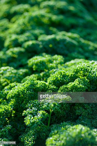 Curly Leaved Parsley (Petroselinum crispum)