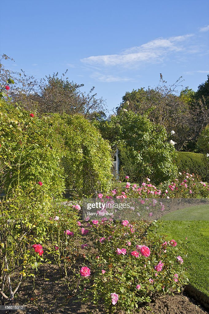 Curve of red rose bushes in garden. : Stock Photo