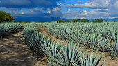 Curved agave lines.