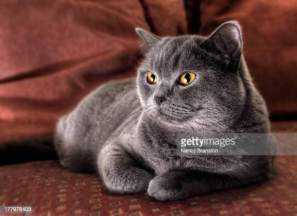 Cushy Kitty - British blue shorthair cat