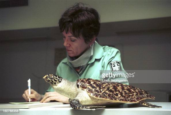 A customs officer in the Frankfurt Airport with a confiscated and prepared turtle that stands under the protection of endangered species Taking down...