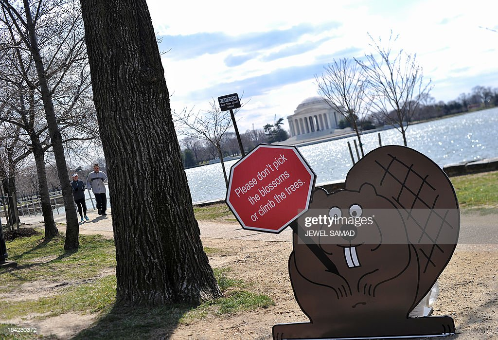 A cut of a squirrel holding a sign advising visitors not to pick the blossoms or climb the Cherry trees is seen along the tidal basin in Washington, DC, on March 21, 2013. The National Park Service (NPS) has updated the peak bloom prediction of the cherry blossom trees for April 3-6. Peak bloom is defined as the period when 70 percent of the blossoms on the Yoshino Cherry trees are open; however, the blooming period can last up to 14 days. The National Cherry Blossom Festival, when thousands of cherry trees given by Japan as a present a century ago start blooming, is the city's top tourist attraction. AFP PHOTO/Jewel Samad