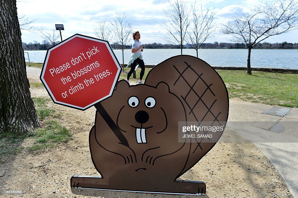 A cut of a squirrel holding a sign advising visitors not to pick the blossoms or climb the Cherry trees is seen as a woman jogs past at the tidal basin in Washington, DC on March 21, 2013. The National Park Service (NPS) has updated the peak bloom prediction of the cherry blossom trees for April 3-6. Peak bloom is defined as the period when 70 percent of the blossoms on the Yoshino Cherry trees are open; however, the blooming period can last up to 14 days. The National Cherry Blossom Festival, when thousands of cherry trees given by Japan as a present a century ago start blooming, is the city's top tourist attraction. AFP PHOTO/Jewel Samad