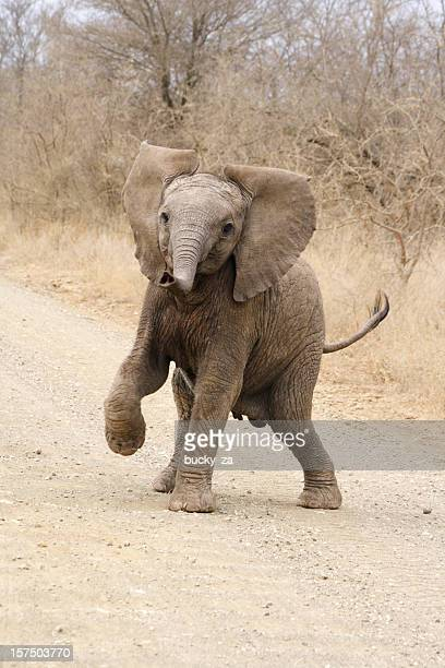 Cute African elephant calf playing and trying to threaten dominance